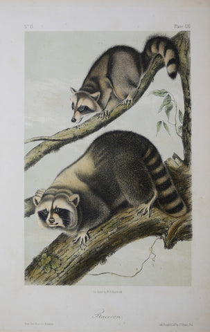 John James Audubon (1785-1851) & John Woodhouse Audubon (1812-1862),  Raccoon Pl. LXI