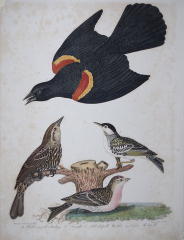 Alexander Wilson (1766-1813), Red Winged Starling
