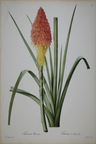 Pierre Joseph Redouté (1759-1840), Red Hot Poker, Plate 291
