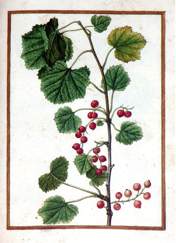 Jacques le Moyne de Morgues (French, ca. 1533-1588), Redcurrant