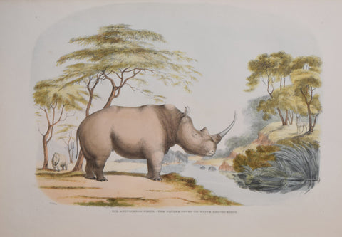 Captain W. Cornwallis Harris (1807-1848), Plate XIX Rhinoceros Simus, The Square Nosed or White Rhinoceros