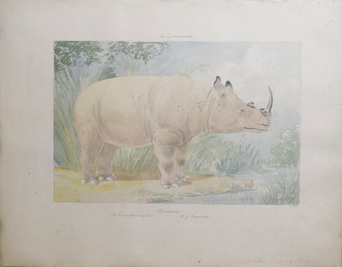 Charles Hamilton Smith (1776-1859), Rhinoceros of Sumatra