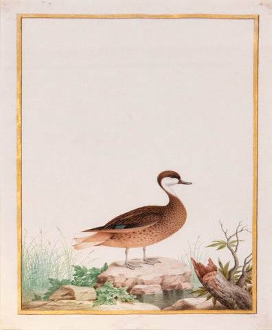 Nicolas Robert (French, 1614-1685), Canard des Bahamas (Whte Cheeked Pintail)