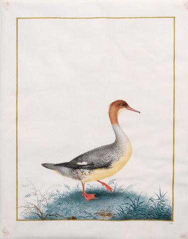 Nicolas Robert (French, 1614-1685), Grand Bec Scie (Duck Goosander)