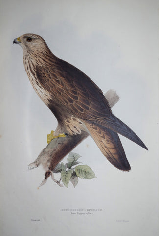 John Gould (1804-1881), Rough-legged Buzzard