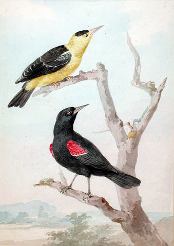 Aert Schouman (Dutch, 1710-1792), A Red-winged Starling with Another Bird