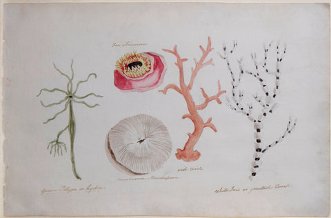 Guyanese Flora (1790-1814), Green Polyp or Hydra, Mushroom Mandrapone (1), Red Coral, White Iris or Jointed Coral and Sea Anemone