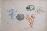 Guyanese Flora (1790-1814)  Radiated D..., Echini or Sea Urchin, Purple sided Gorgena, Bell Medusa or Sea Cat