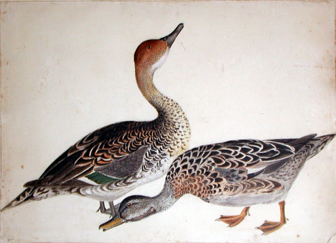 "Prideaux John Selby (British, 1788-1867), ""Female Gadwall Duck and Female Pintail Duck"""