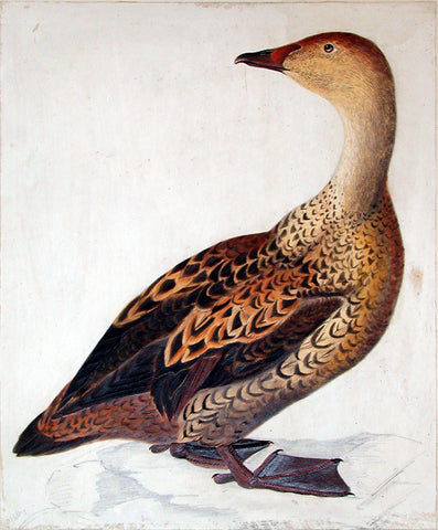 "Prideaux John Selby (British, 1788-1867), ""King Eider, female"""
