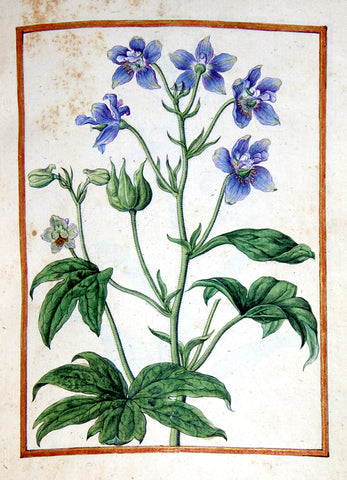 Jacques le Moyne de Morgues (French, ca. 1533-1588), Staversacre, Delphinium staphisagria