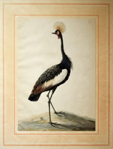 Sarah Stone (British, c. 1760-1844), Grey Crowned Crane
