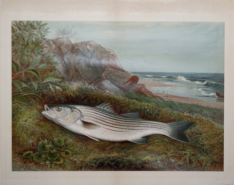 Samuel A. Kilbourne (1836-1881), Striped Bass