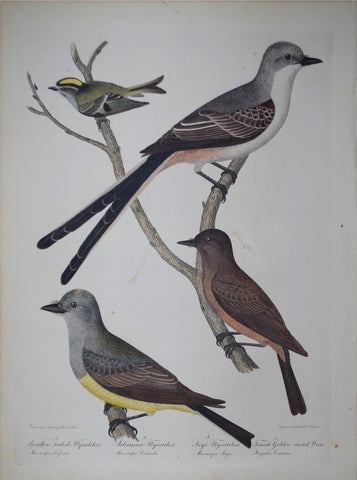 Alexander Wilson (1766-1813), Swallow-tailed flycatcher