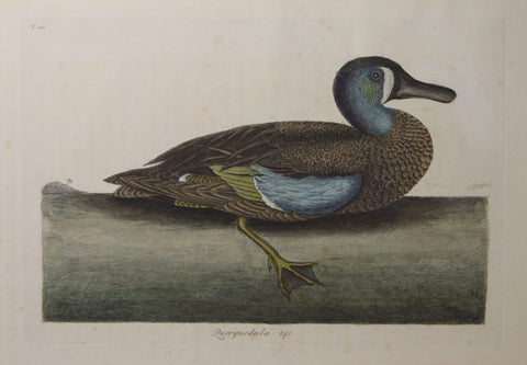 Mark Catesby (1683-1749), T100-The White-Face Teal