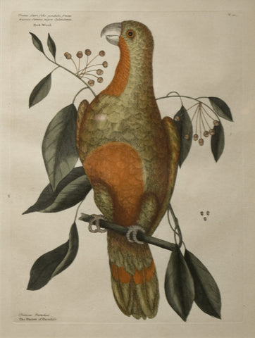 Mark Catesby (1683-1749), T10-The Parrot of Paradise of Cuba, Red-Wood