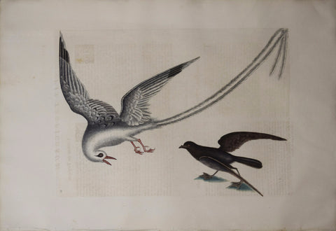 Mark Catesby (1683-1749), T14 The Tropic Bird, The Storm-Finck or Pittrel