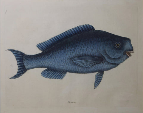 Mark Catesby (1683-1749), T18-The Blue Fish