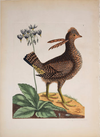 Mark Catesby (1683-1749), Le Coq du Bois d'Amerique (Partridge), T1