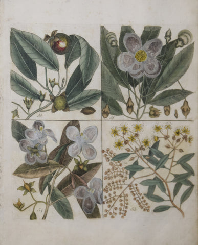 Mark Catesby (ca. 1679-1749), T 51, 52, 53, 54
