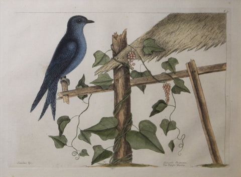 Mark Catesby (1683-1749), T51-The Purple Martin