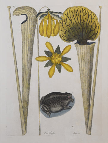 Mark Catesby (1683-1749), T69-The Land Frog, Pitcher Plants