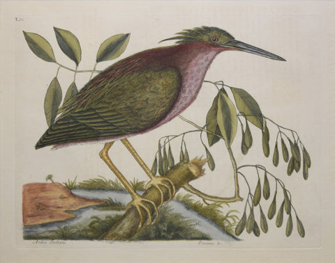 Mark Catesby (1683-1749), T80-The Small Bittern