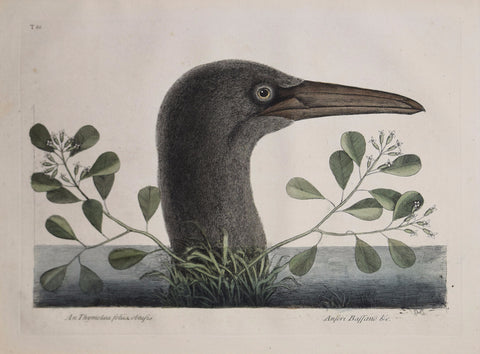 Mark Catesby (1683-1749), T86-The Great Booby