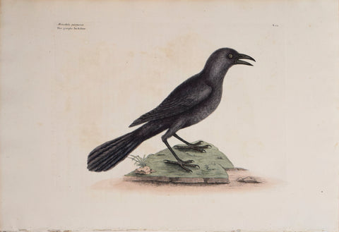 Mark Catesby (1683-1749), T 12-The Purple Jack-Daw