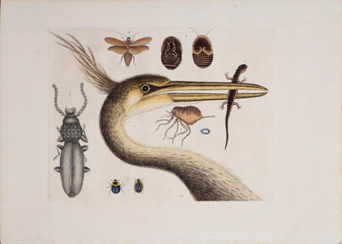 Mark Catesby (1683-1749), T 18- The Largest Crested Heron and The Spotted Eft