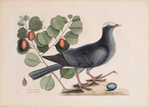 Mark Catesby (1683-1749), T 25- The White-crown'd Pigeon