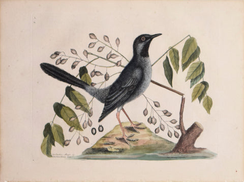 Mark Catesby (1683-1749), T 30- The Red-leg'd Thrush