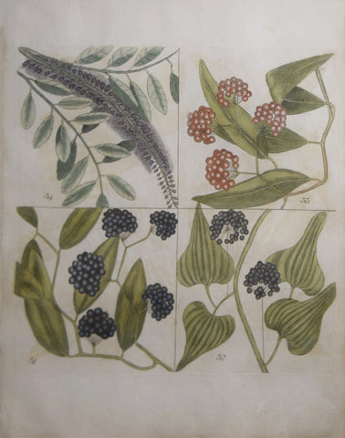Mark Catesby (ca. 1679-1749), T 31, 32, 33, 34