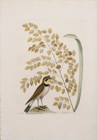 Mark Catesby (1683-1749), T 32-The Lark