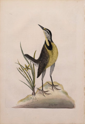 Mark Catesby (1683-1749), T 33- The Large Lark