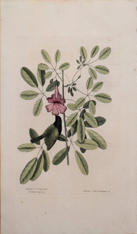 Mark Catesby (1683-1749), T 37-The Bahama Sparrow