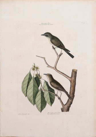 Mark Catesby (1683-1749), T 54-The Little Brown Fly-catcher and The Red eyed Fly-catcher