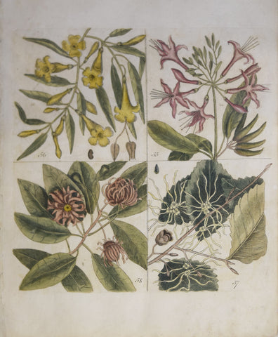 Mark Catesby (ca. 1679-1749), T 55, 56, 57, 58