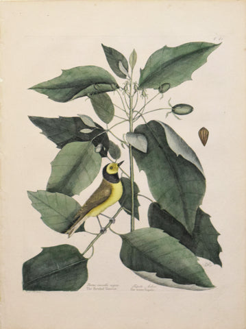 Mark Catesby (1683-1749), T 60- The Hooded Titmouse