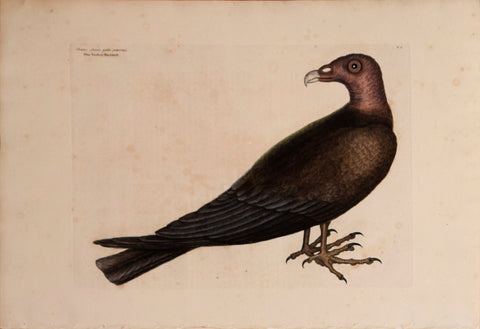 Mark Catesby (1683-1749), T 6-The Turkey Buzzard