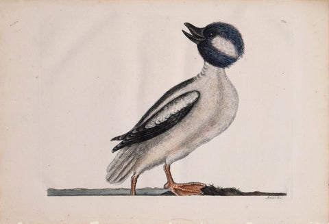 Mark Catesby (1683-1749), T 95- The Buffel's Head Duck