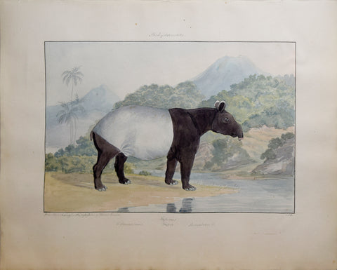 Charles Hamilton Smith (1776-1859), Tapir of Sumatra