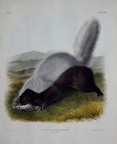 John James Audubon (1785-1851) & John Woodhouse Audubon (1812-1862), Texan Skunk Pl. LIII