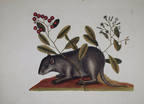 Mark Catesby (1683-1749), The Bahama Coney P79
