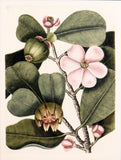 Mark Catesby (1683-1749), T99-The Balsam Tree