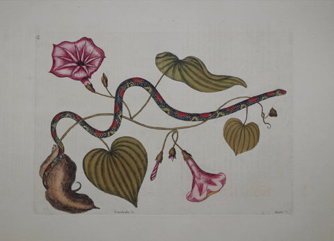 Mark Catesby (1683-1749), The Bead-Snake P60