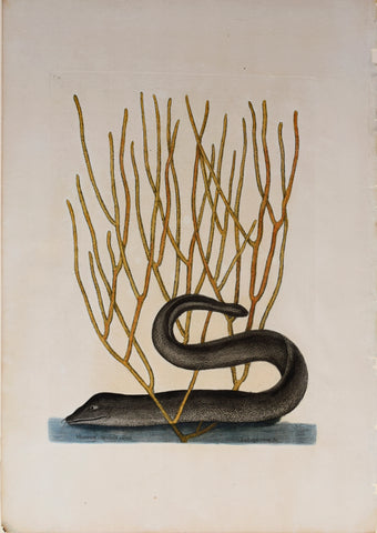 Mark Catesby (1683-1749), The Black Muray and coral, T21
