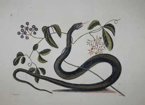 Mark Catesby (1683-1749), The Black Snake P48
