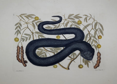 Mark Catesby (1683-1749), The Black Viper P44