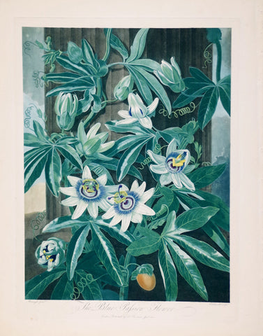 Robert John Thornton (1768-1837), The Blue Passion Flower